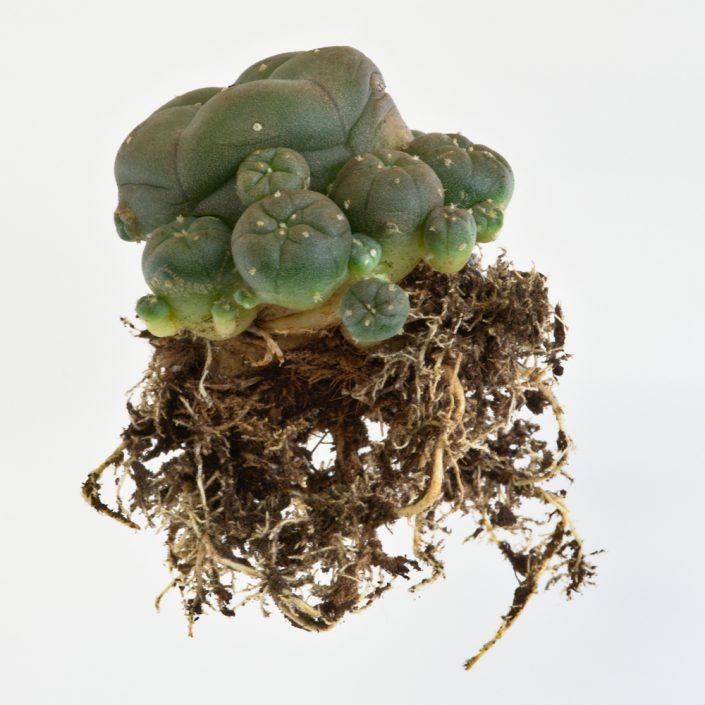 Lophophora caespitosa, typische Wurzelbildung nach Stecklingsvermehrung