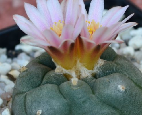 lophophora-williamsii-dornen
