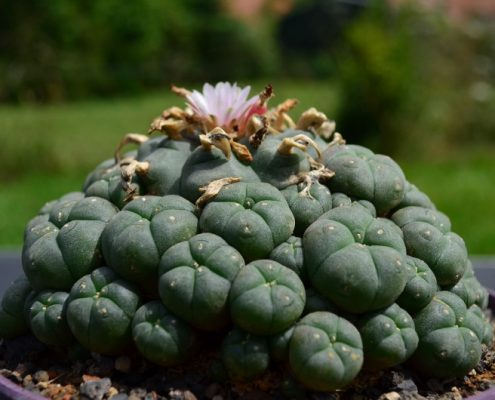 Lophophora williamsii caespitosa in letzter Blüte Anfang Oktober