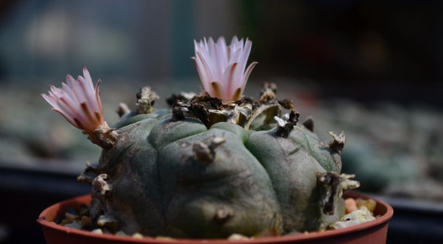 Lophophora williamsii zwei Blüten