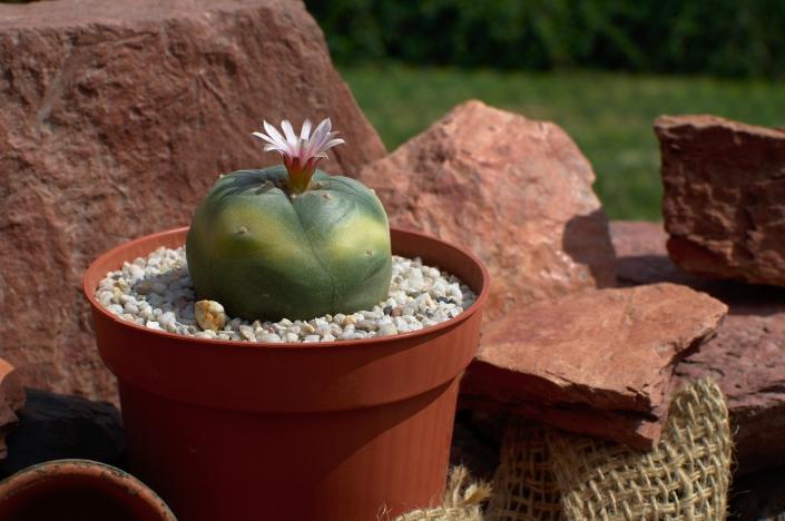 Lophophora variegata 04/20