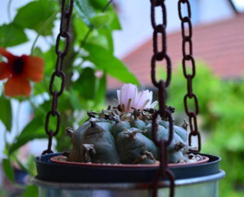 Lophophora williamsii im Garten