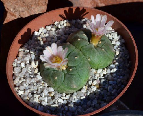 Lophophora williamsii peyote 2-Köpfe