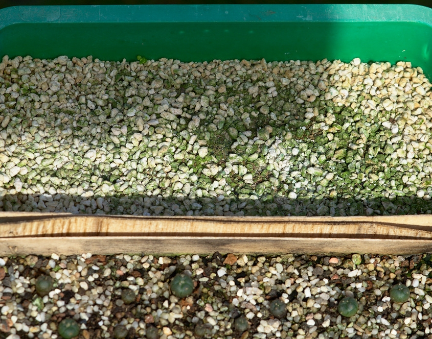Keimquote Lophophora in Perlit