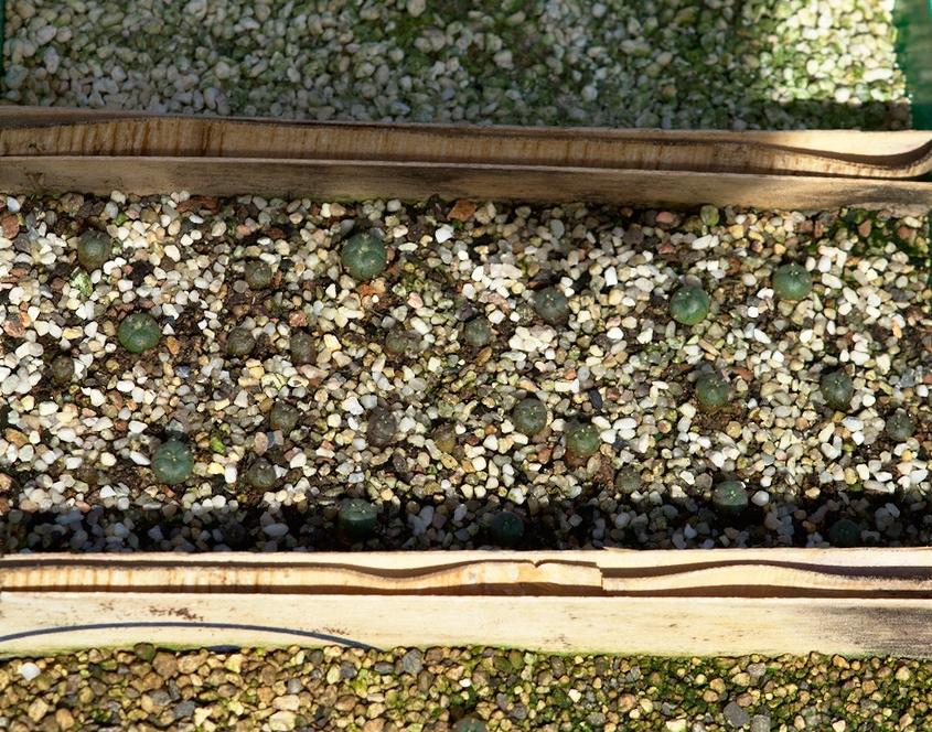 Keimquote Lophophora in Aussaatsubstrat