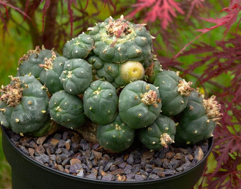 Peyote-Kaktus, Mai 2018