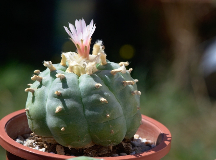 Lophophora williamsii Hybride