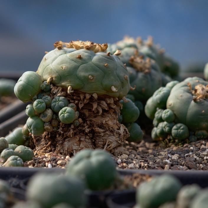 Lophophora Mutterpflanze 7cm Durchmesser, 8cm hoch