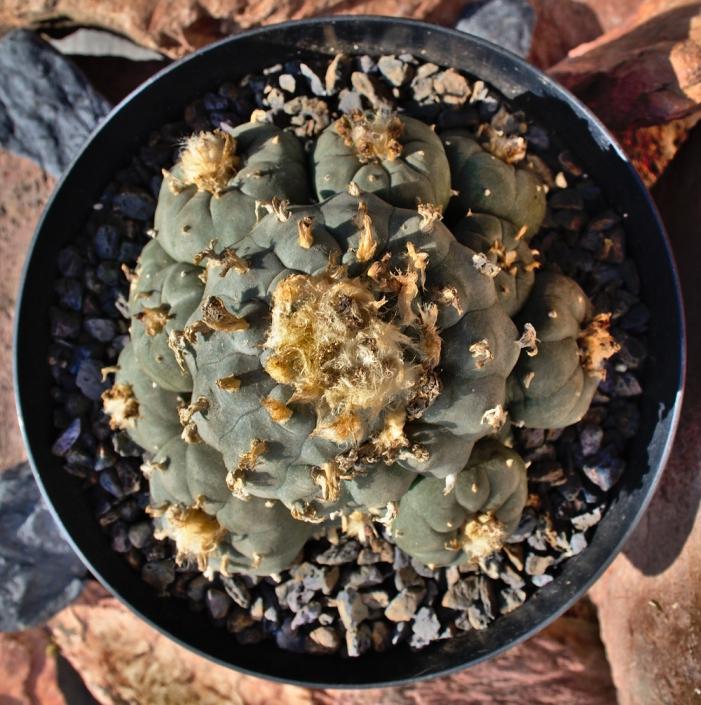 Große Lophophora-Pflanze 17cm