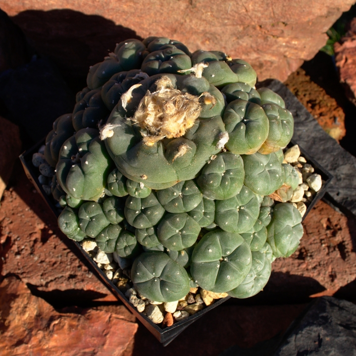 Peyote caespitosa, November 2018