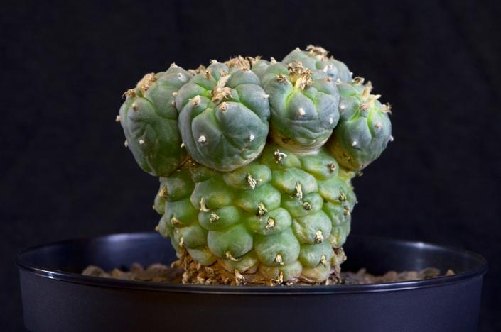 Besondere Peyote-Pflanze im Winterstandort, Dezember 2018