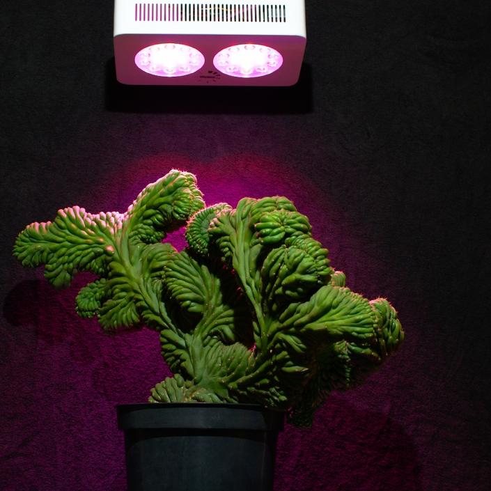 Trichocereus pachanoi cristata unter LED-Pflanzenlampe von NEUSIUS PFLANZENLICHT