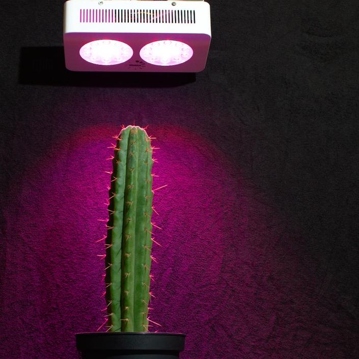 Trichocereus pachanoi mit LED-Pflanzenlampe von NEUSIUS PFLANZENLICHT