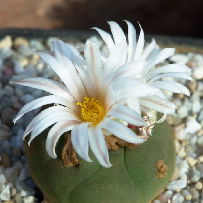 Lophophora alberto-vojtechii albiflora