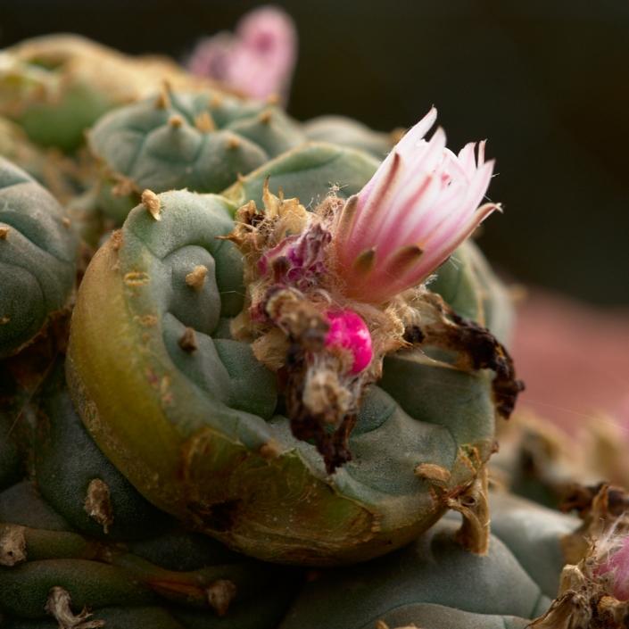 Lophophora-Blüte