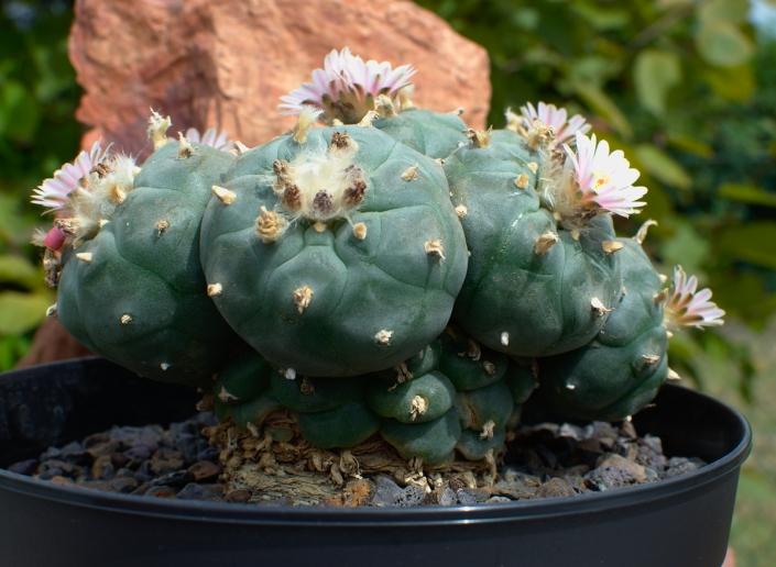 Lophophora williamsii peyote, alte Pflanze über 28 Jahre