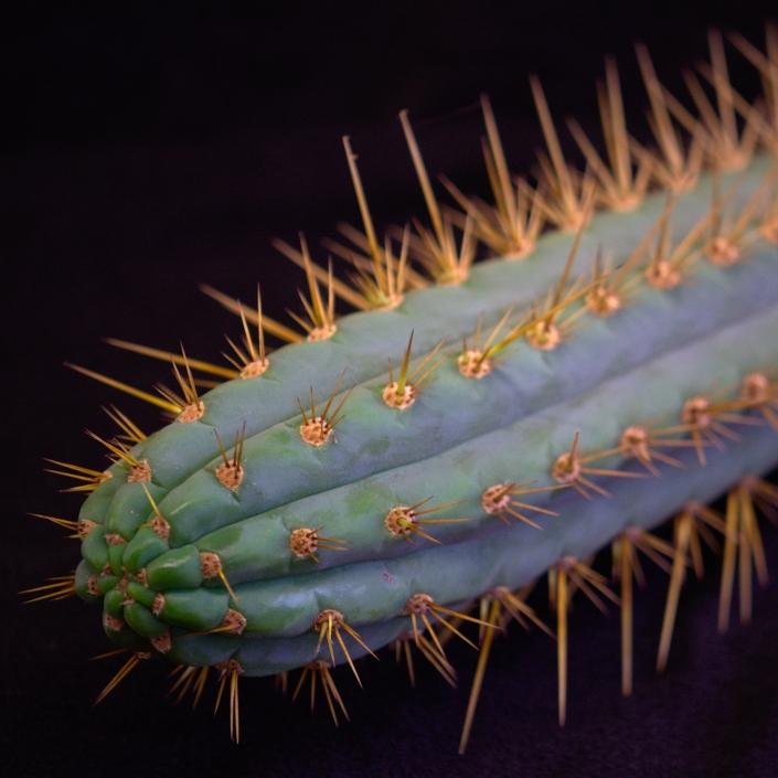 Trichocereus cuzcoensis, Detail