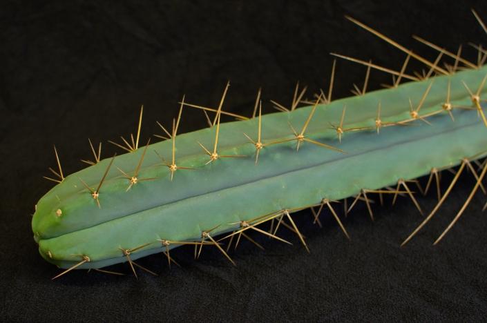 Trichocereus bridgesii, Detail