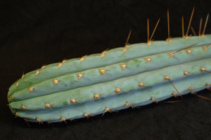 Trichocereus peruvianus, Detail
