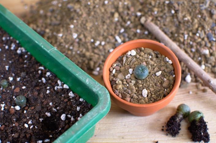 Lophophora williamsii frisch pikiert