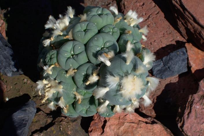 Lophophora Diffusa, Peña Blanca, Chihuahua, Mexiko 2020