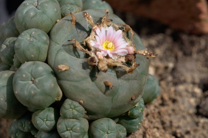 Peyote im April 2020
