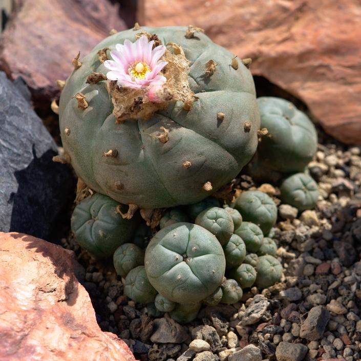 Peyotl Mutterpflanze im Gewächshaus