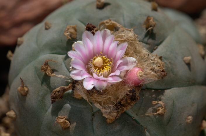 Peyote Blüte und Frucht