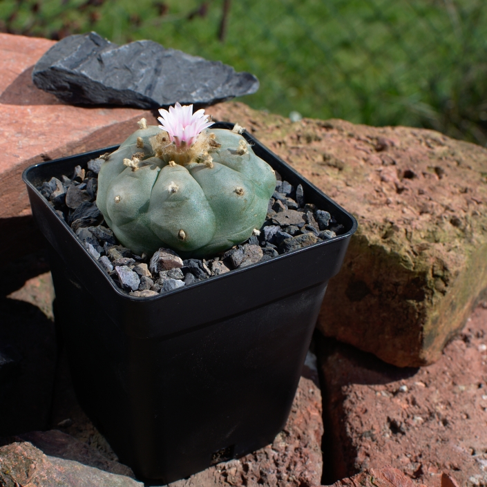 "Lophophora williamsii, Zuchtlinie ""Blue Giant"""