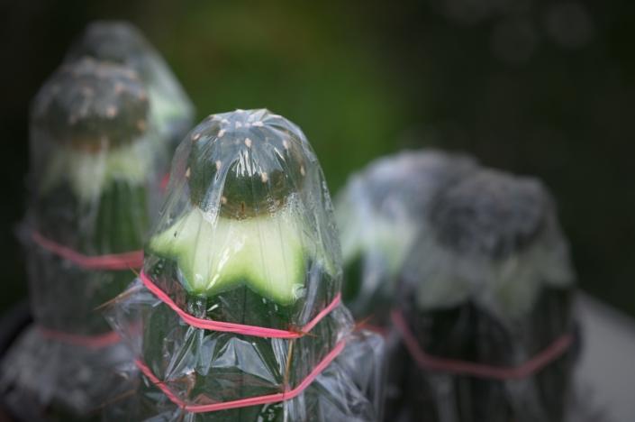 Lophophora jourdaniana, frisch veredelt