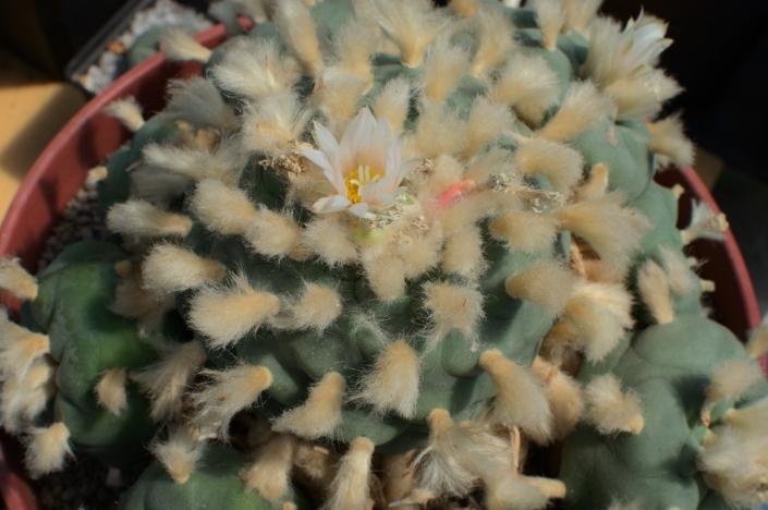 Lophophora diffusa, Pena Miller