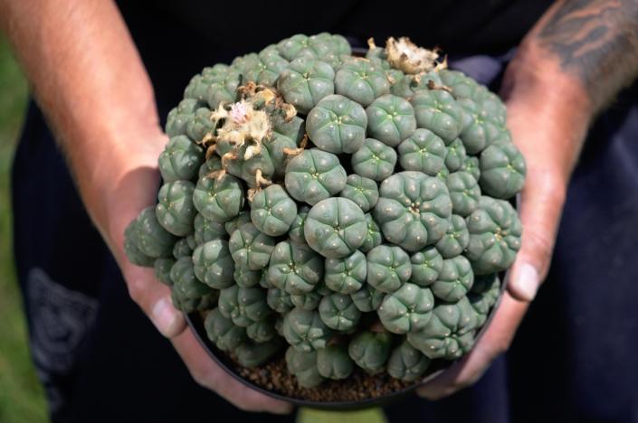 Lophophora caespitosa, La Perdida