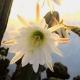San Pedro Blüte