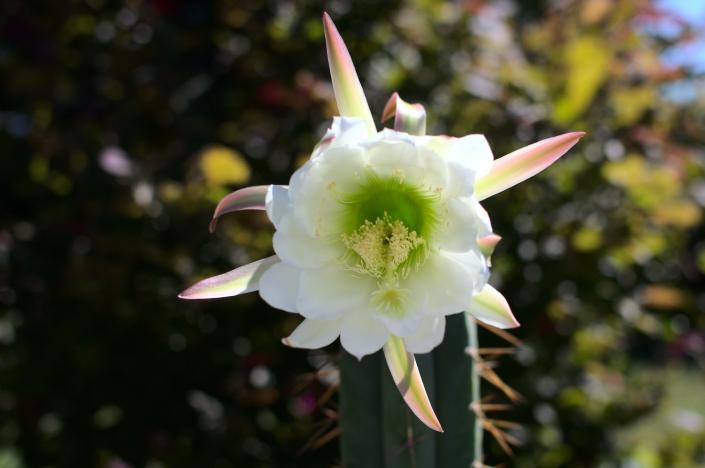 Trichocereus bridgesii Blüte