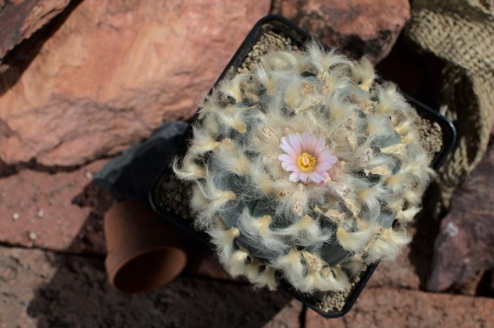 Lophophora var. cardona