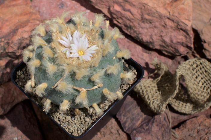 Lophophora fricii albiflora, Juli 20