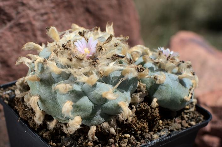 Lophophora williamsii texana 07/20