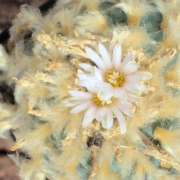 Lophophora fricii albiflora, El Amparo