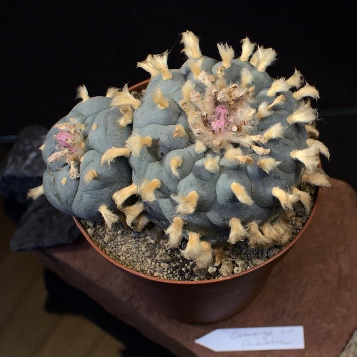 Lophophora williamsii camargo, Chihuaua