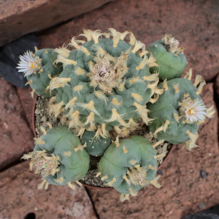 Lophophora huizache