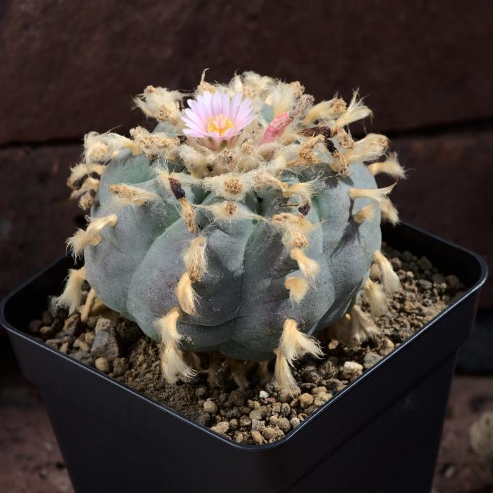 Lophophora v. Las Coloradas