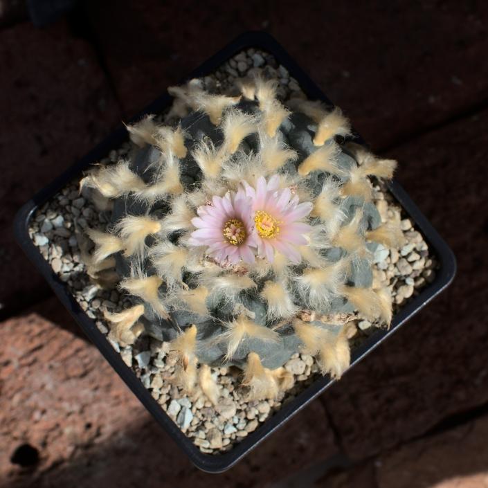 Peyote blau-grau, Selektion