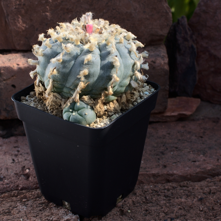 Peyote texana, alte Pflanze - Juni 2020