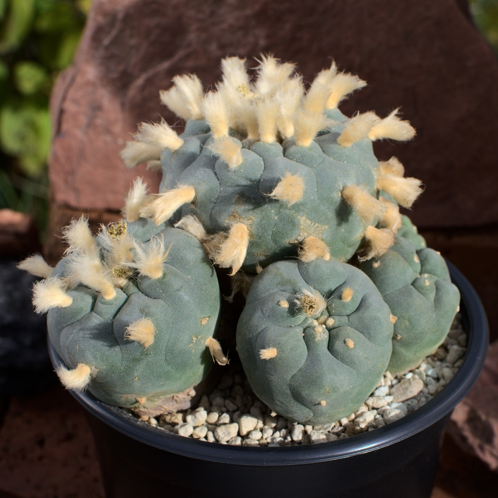 Lophophora Diffusa
