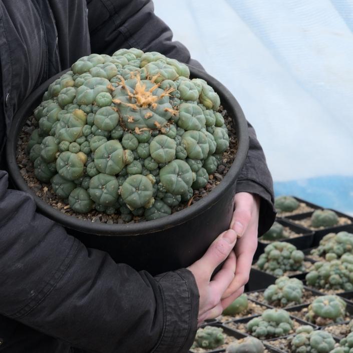 Lophophora williamsii caespitosa, Januar 2021