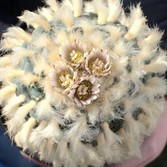 Lophophora Koehresii, erste Blüte 20.03.21