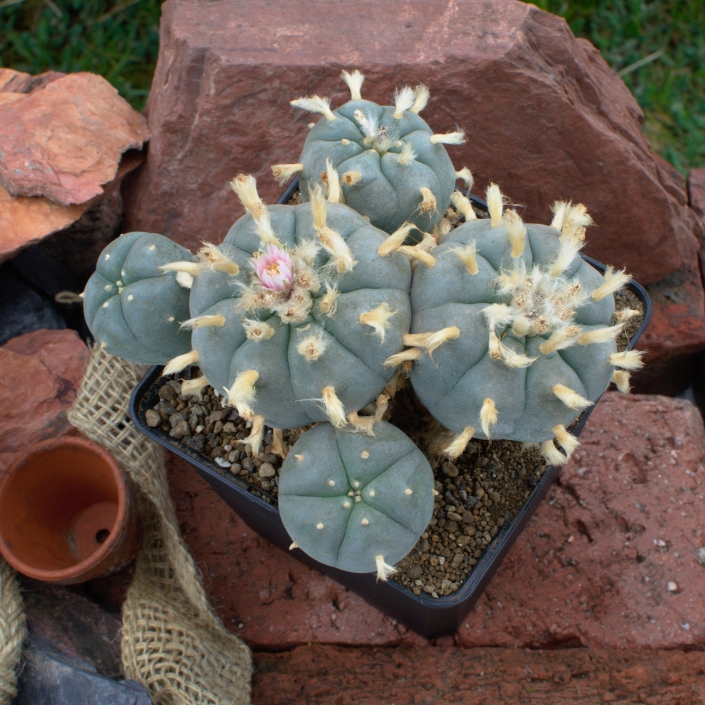 Lophophora williamsii v. Zacatecas - September 2020